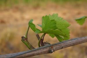 Chevreuil et viticulture ou la définition de l'impuissance